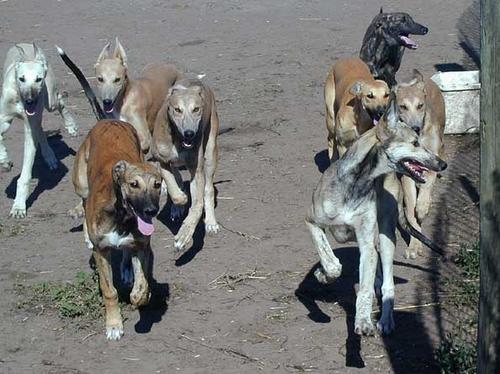 Win at greyhound racing